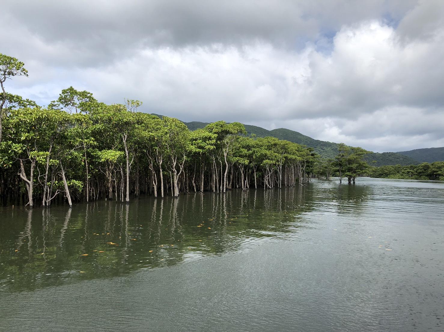 西表島 仲間川のマングローブ